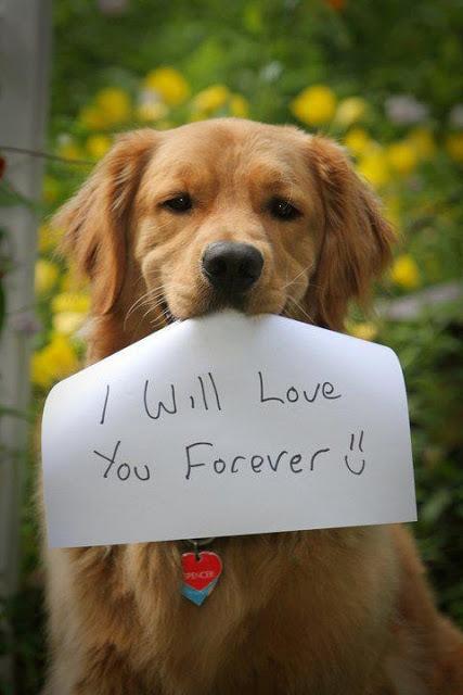 I Want To Adopt A Golden Retriever Puppy - Goldenacresdogs com